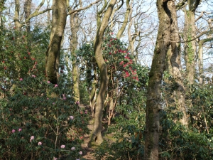 Coed Rhododendron